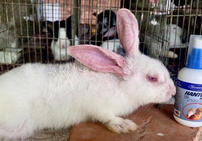 Thử Thách Trị Nấm Trên Thỏ Bằng Thuốc Diệt Ve Rận Hantox | Thỏ Miền Nam